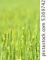 小麦的耳朵 5369742