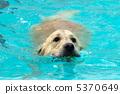 金毛獵犬 游泳 獵犬 5370649
