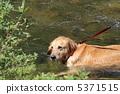 獵犬 黃金獵犬 金毛獵犬 5371515