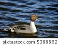 針尾鴨 水雞 野生鳥類 5388862