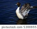 針尾鴨 水雞 野生鳥類 5388865