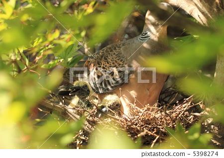 Mountain-dove's chicks 5398274