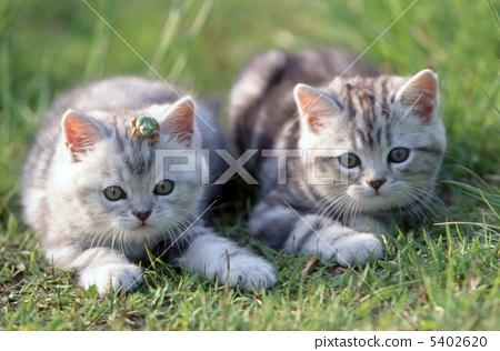 Two good friends in grassland American kitten short hair kitten 5402620