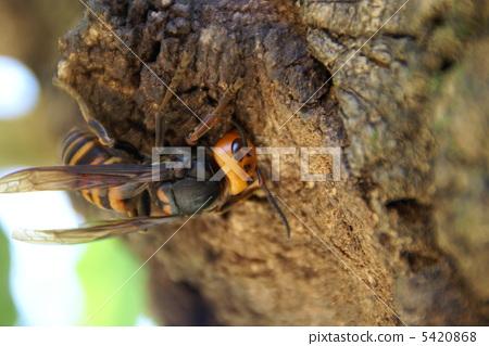 A hornet 5420868