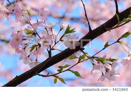tine, cherry blossom, cherry tree 5421963