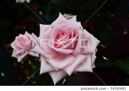玫瑰花奧黛麗赫本 5456960