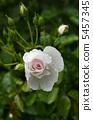 Rose flower Dominic · Loiseau 5457345