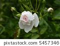 Rose flower Dominic · Loiseau 5457346