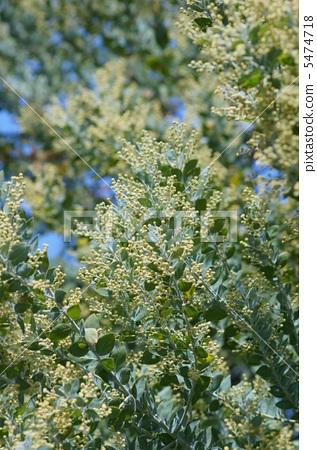 진주 아카시아 둥근 잎 아카시아입니다. 5474718
