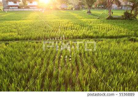 Paddy fields at dusk 5536889