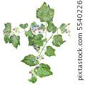Wild grapes 5540226