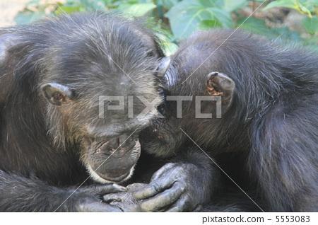 A couple of loving chimpanzees 5553083