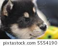 日本犬 小狗 柴犬 5554190