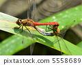 蜻蜓 紅蜻蜓 秋天 5558689