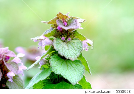 purple deadnettle, lamium purpureum, purple dead nettle 5558938