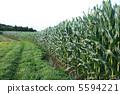 옥수수 밭 5594221