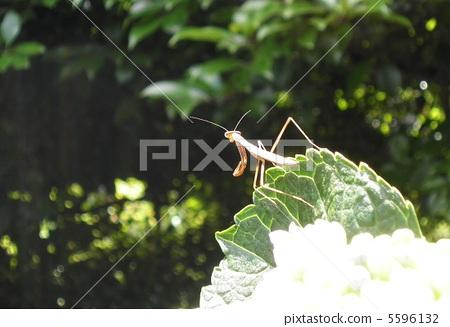 Mantis kid's child 5596132