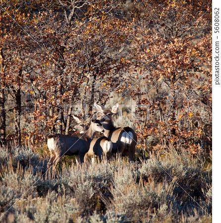 Deers 5608062