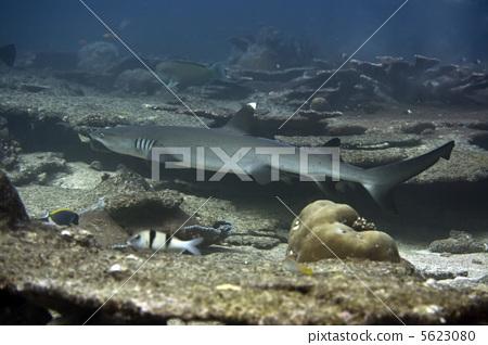 Whitetip Reef Shark 5623080