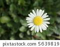 濱菊 浜菊 植物 5639819