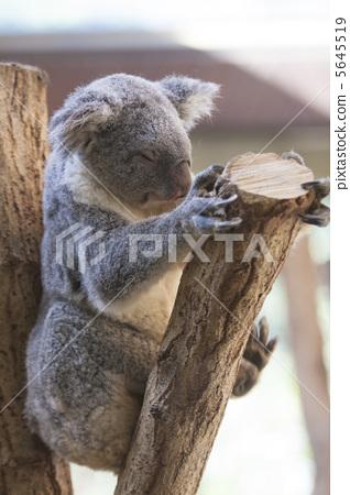 Koala on holiday 5645519