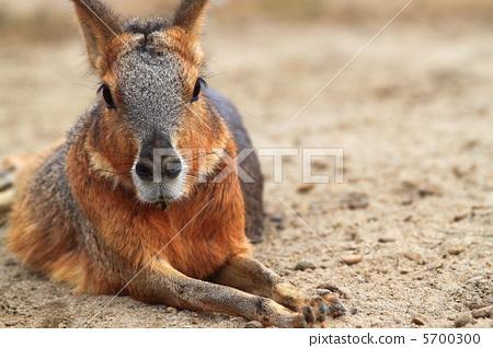 Mara (Renaissance male genus) 5700300