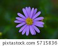 ดอกไม้ของ Brachikam 5715836