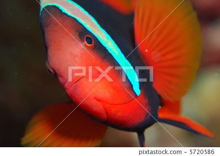 Anemone fish 5720586