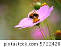 蜜蜂 大波斯菊 秋天 5722428