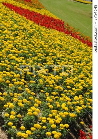 ดอกดาวเรืองและซัลเวีย [ฉันนำมันไปที่สวนอนุสรณ์โอซาก้าเอ็กซ์โป ] 5754548