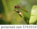 鏢鱸 秋鏢 蜻蜓 5763016