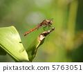 鏢鱸 秋鏢 蜻蜓 5763051