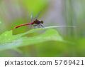 鏢鱸 紅蜻蜓 蜻蜓 5769421