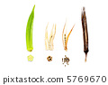 Seed harvest time and withered appearance from okra's eating grass 5769670