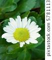 濱菊 浜菊 花朵 5781113
