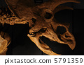 triceratops, fossil, fossilized 5791359
