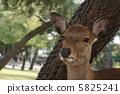 奈良公園的鹿1 5825241