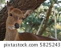 奈良公園的鹿2 5825243