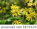 日本銀葉 花朵 花 5870626