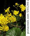 日本銀葉 花朵 花 5902491
