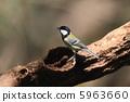大山雀 山雀 野生鳥類 5963660