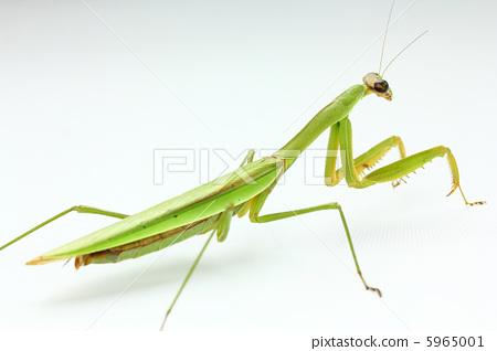 Mantis 5965001