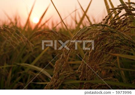 Rice earrings shining golden color 5973996