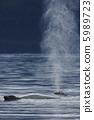 座头鲸 海洋动物 鲸鱼 5989723
