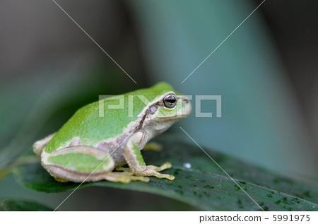 tree frog 5991975