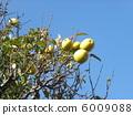 我們的房子的黃色果子在藍天 6009088