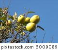 我們的房子的黃色果子在藍天 6009089
