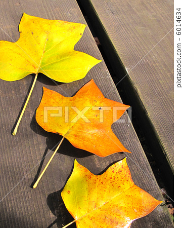 The yellow leaves of the tulip tree 6014634