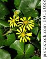 日本銀葉 花朵 花 6016083