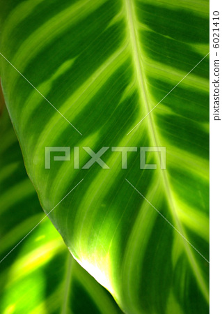 Leaves of Caratea zebrna 6021410